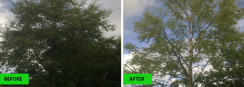 Canopy Tree Services Crown Thinning Sydney