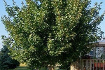 Canopy Tree - Shaping of Small Trees