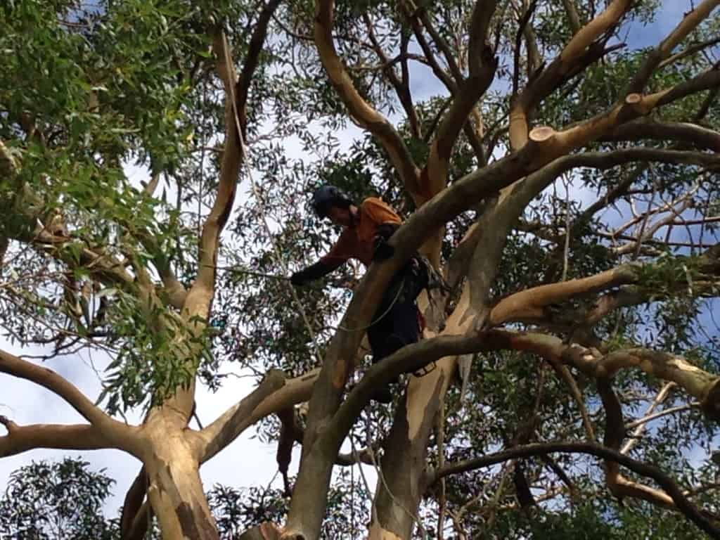 Canopy Tree Services Branch Removal Sydney