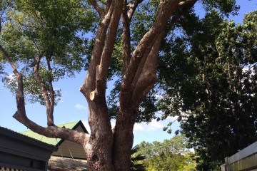 Canopy Tree Crown Lifting