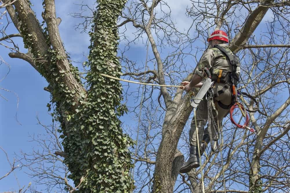 Canopy Tree Pruning Mittagong Services