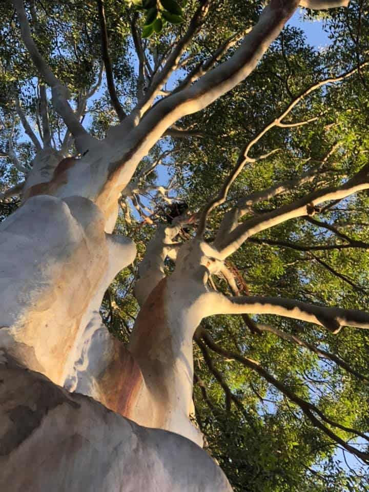 blue gum pruning ashfield nsw