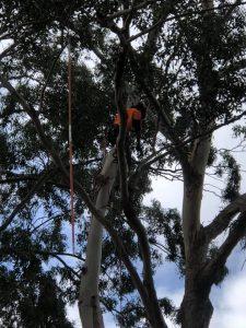 blue gum pruning ashfield nsw